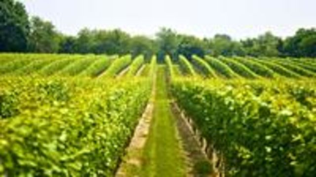 Photo of BICYCLE RACE IN THE VINEYARD